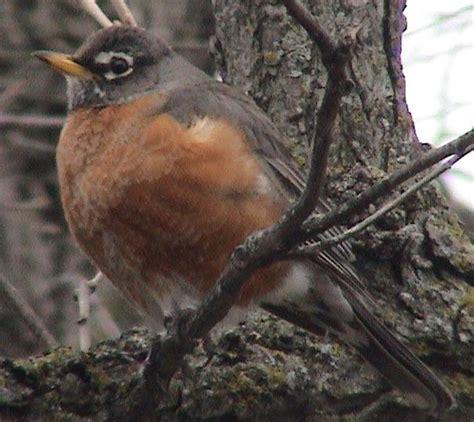 top 28 when do robins mate the entwife s garden a