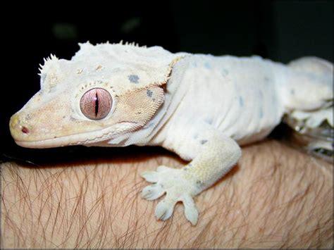 meet the crested geckos jonathan s jungle roadshow