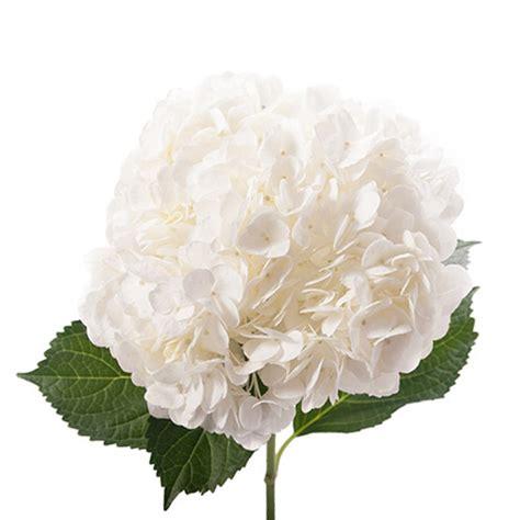 white hydrangeas in bulks wholesale prices farm direct