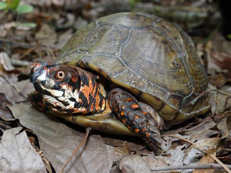louisiana map turtle eastern box turtle terrapene carolina hibians and