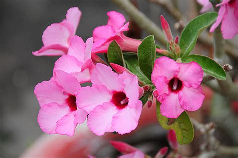 images of flowers pictures of flowers adenium
