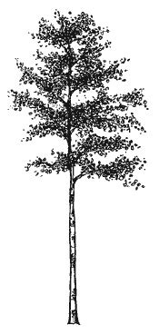 aspen forest silhouette light aspen tree tat tats ideen baum drawing