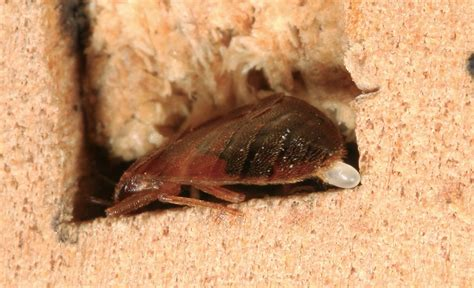 where do bed bugs lay eggs sarasota bed bug laying egg in wooden crevice johnny