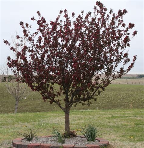 top 28 burgundy leaf tree what is this pretty tree