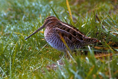 snipe bid common snipe gallinago gallinago natureworks
