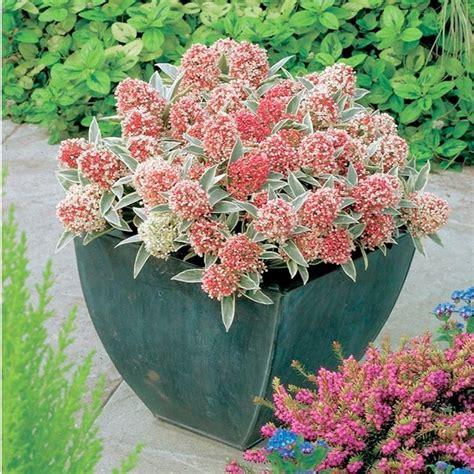 come curare i ciclamini in vaso cura dei ciclamini in vaso ciclamini cura piante da