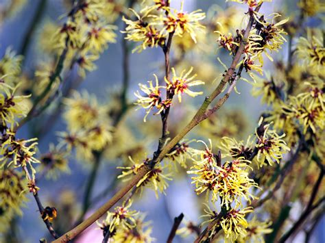 american witch hazel shrubs for sale cold stream farm