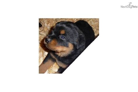 rottweiler puppies for sale in wv rottweiler puppy for sale near huntington ashland west virginia 650cb707 1c71
