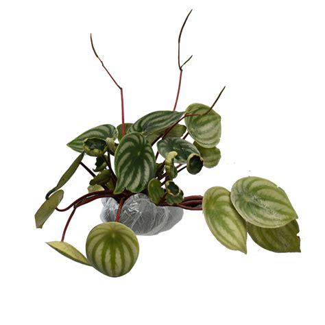 Tanaman Kastuba Lokal bibit tanaman false ficus new best buy indonesia
