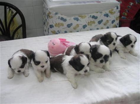 1 month shih tzu puppy shih tzu puppies sold 1 month shih tzu from ipoh perak petfinder my
