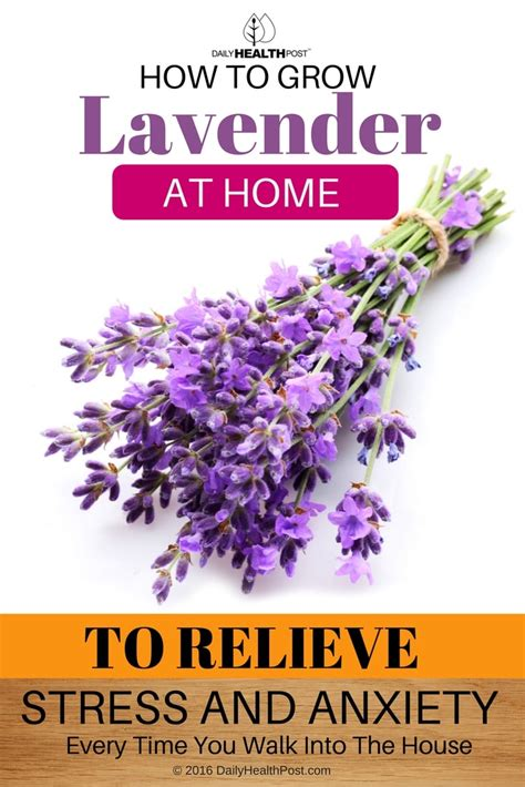 growing lavender indoors to feel relaxed every time you