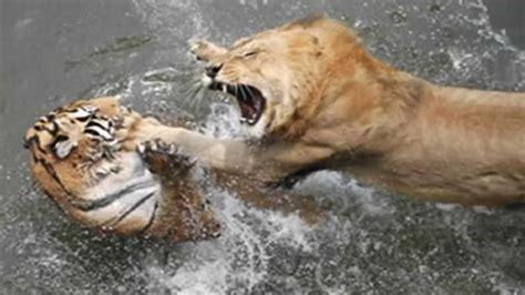imagenes de leones y tigres peleando tigre contra leon el tigre es el verdadero rey mucho m 225 s