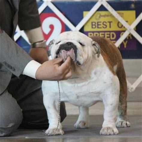 do french bulldogs need c sections english bulldog stud service houston texas english