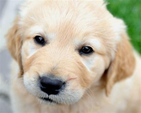 alimentazione cucciolo golden retriever golden retriever cuccioli la corretta alimentazione