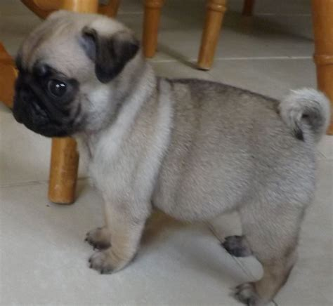pug kennel kennel club registered pug puppies stoke on trent staffordshire pets4homes