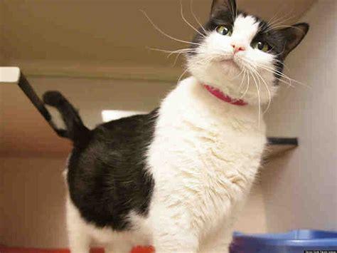 adopt a denver adopt a cat in denver this week photos huffpost