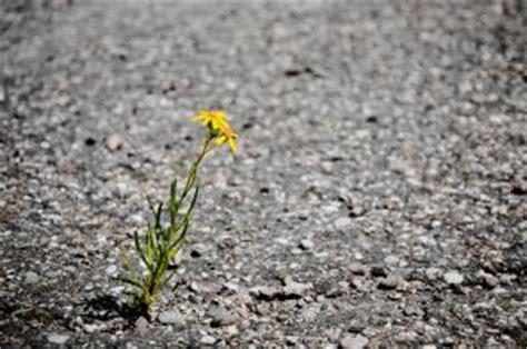 solitario fiori fiore solitario asfalto scaricare foto gratis
