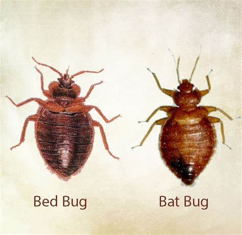 bat bug vs bed bug bat bug treatment in new jersey alliance pest services