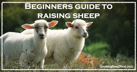 rising sheep beginners guide to raising sheep growing real food
