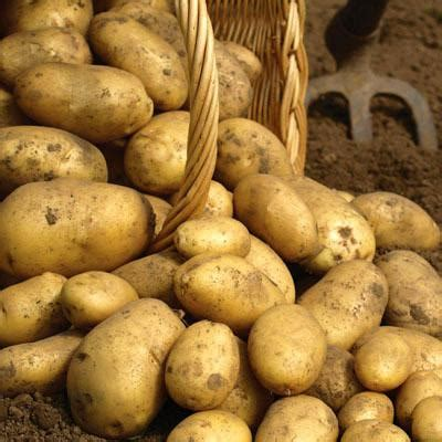 potato kennebec harris seeds