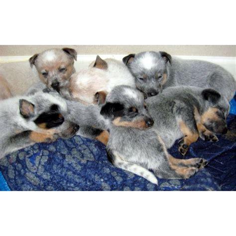 newborn blue heeler puppies baby blue heelers dogs