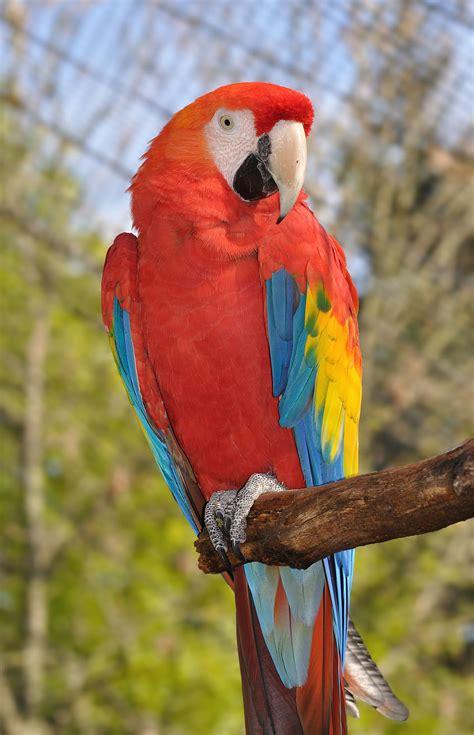 imagenes guacamayas rojas ara animal wikipedia la enciclopedia libre