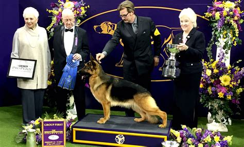 winner of westminster show westminster kennel club show winners 2017 pet worth