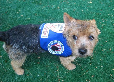small service dogs service gear premium small service vest