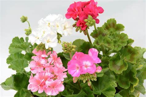 fiori geranio geranio piante da giardino fiore pelargonio