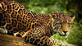 Jaguar Jaguar Jaguar Jaguar Scientific Tour Mexico Ecocolors