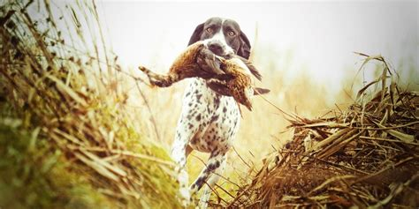 best duck dogs best duck and waterfowl dogs all you need to
