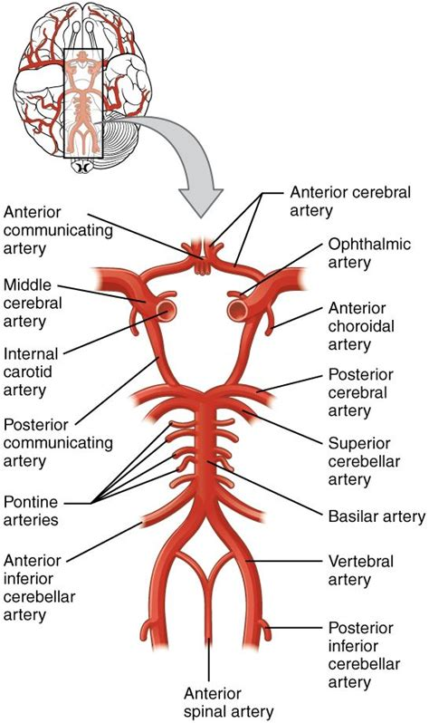 brain blood supply diagram circle of willis search medicated