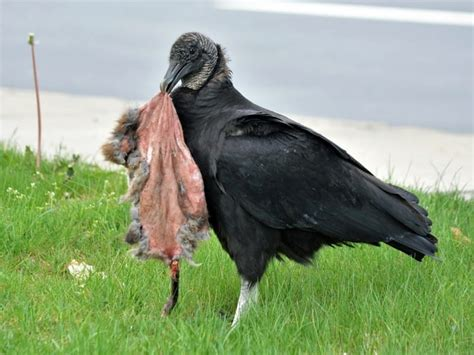 black vulture bird www pixshark com images galleries