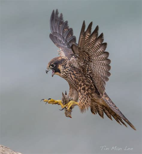 peregrine falcon in flight by tin man 500px