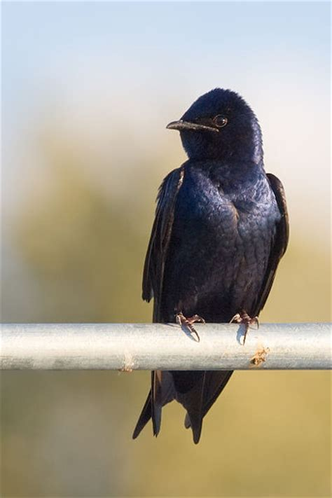 purple martins at lake murray s c