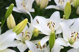 lilies and toxicity in cats pets4homes