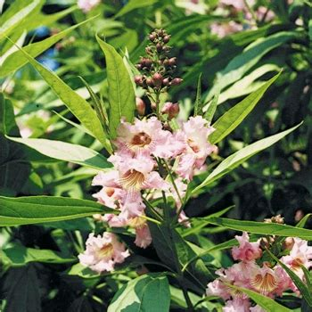 Arbuste De Haie 1207 by Chitalpa Pink Rn Chitalpa Arbuste