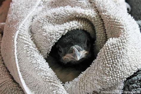 il piccolo di gazza caduto dal nido erbaviola