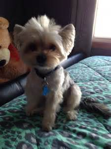 12 best images about morkie haircuts on pinterest morkie