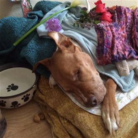 how a dying pit bull got a beautiful home for the end of