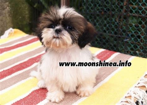 shih tzu princess type princess type shih tzu for sale angeles city panga angeles city for