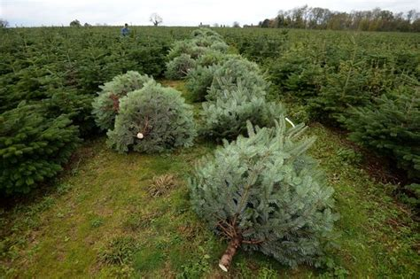 anger at price rise for cannock chase christmas trees