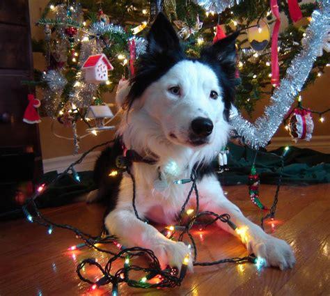 puppy vs the christmas tree ballwalkparkseattledogwalker