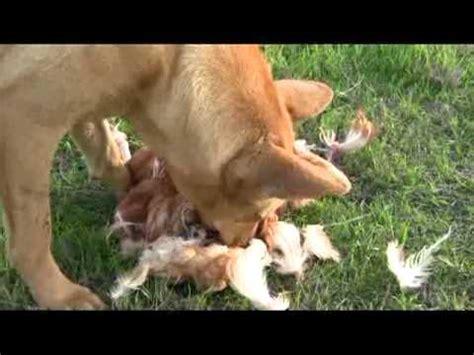 dog eats  chicken youtube