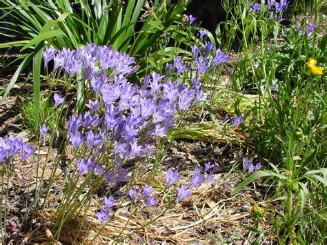 seasonal color with california bulbs california native