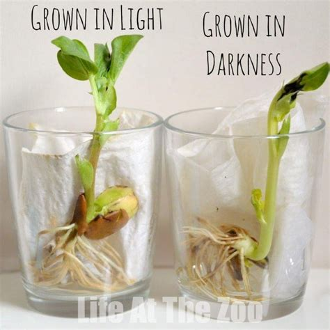 light experiments for kids bean growing a classic childhood science activity add
