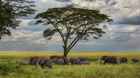 wallpaper elephant   wallpaper savanna tree