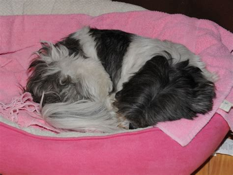 shih tzu bed i just need to take a nap same shih tzu different day