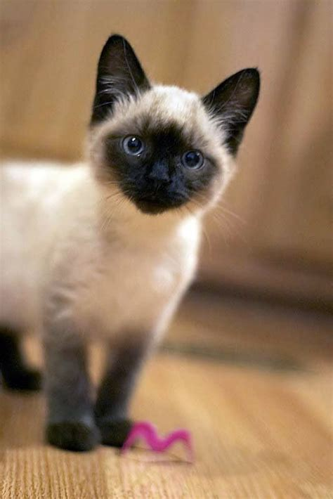 8 Reasons To Get A Siamese Cat by Best 25 Siamese Kittens Ideas On