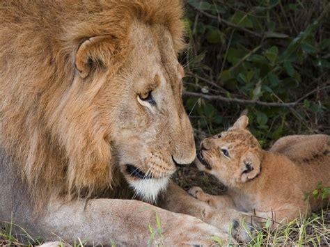 imagenes de leones y sus cachorros fondo pantalla leon y cachorro